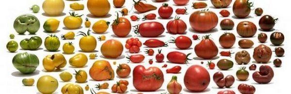 Sorte rajčice: kako pronaći najukusniju i najproduktivniju sortu? 1