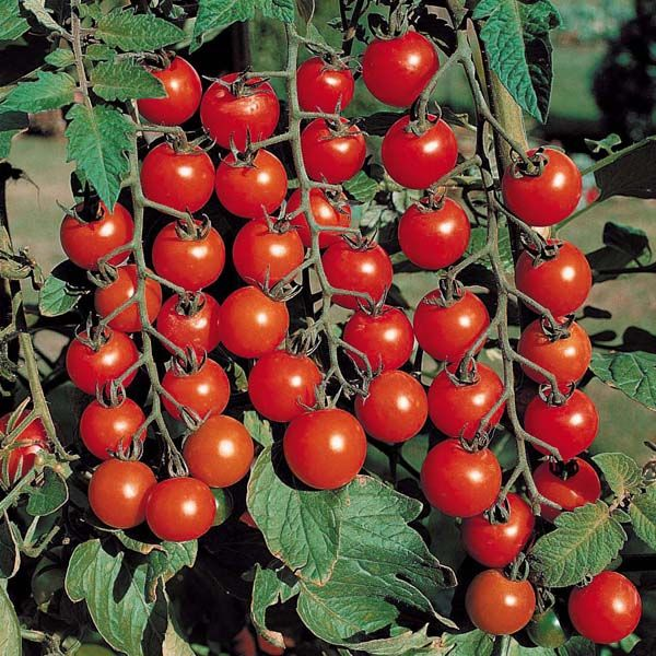 Sorte rajčice: kako pronaći najukusniju i najproduktivniju sortu? 11