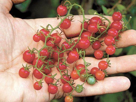 Sorte rajčice: kako pronaći najukusniju i najproduktivniju sortu? 10