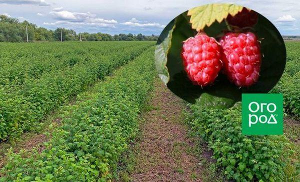 Tipy pre začínajúcich pestovateľov bobuľovín alebo malinovú plantáž. Prvá časť