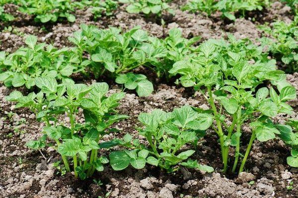 Metode de cultivare a cartofilor în pământ deschis și protejat