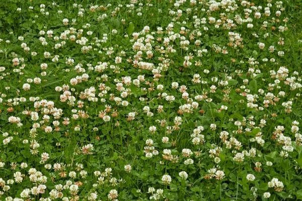 Trava za travnjak - što su i što odabrati 2