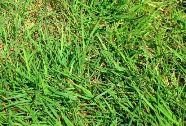 Trava za travnjak - što su i što odabrati 5