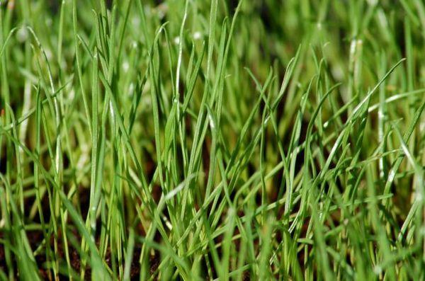 Trava za travnjak - što su i što odabrati 6
