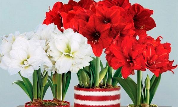 Domáca starostlivosť o kvet amarylisu: výsadba, rozmnožovanie