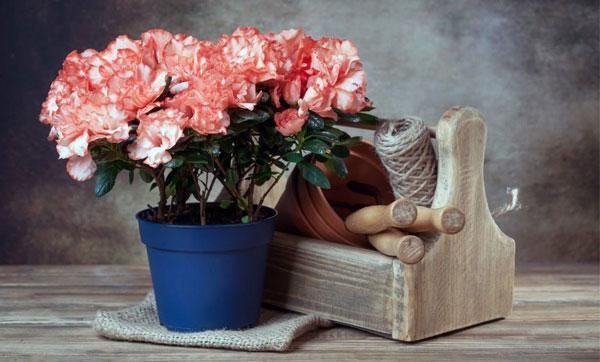 Domáca starostlivosť o kvet azalky: transplantácia, rozmnožovanie