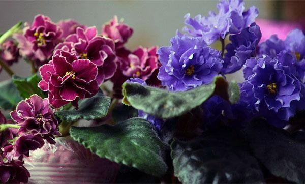 Domáca starostlivosť o fialovú kvetinu, transplantáciu a množenie