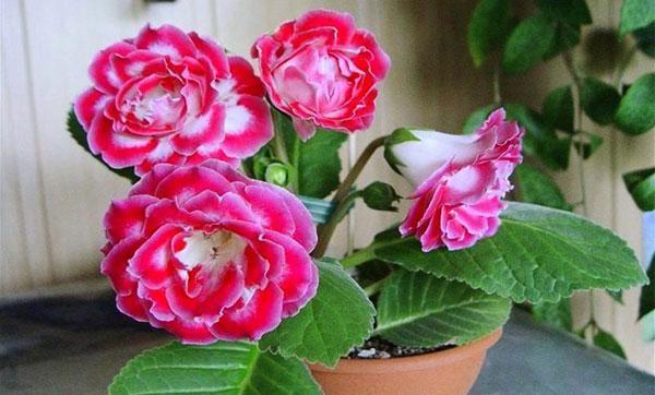 Starostlivosť o kvetiny gloxinia, transplantácia, rozmnožovanie
