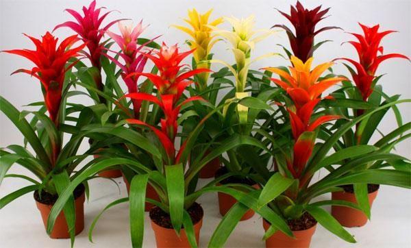 Starostlivosť o kvety guzmania, transplantácia a rozmnožovanie kvetov