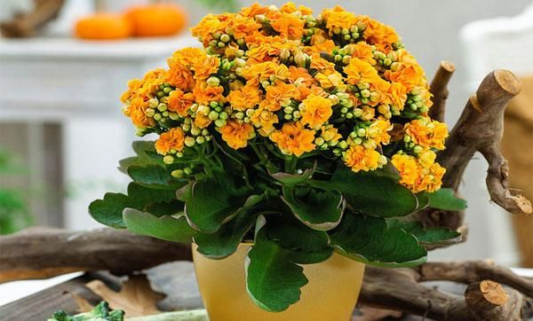 Domáca starostlivosť o kvet kalanchoe kalandiva, transplantácia a reprodukcia