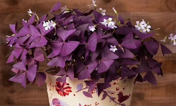 Starostlivosť o kvetinu vnútornej kyslej kyseliny (oxalis) doma, rozmnožovanie