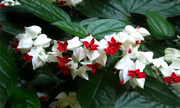 Domáca starostlivosť o kvet clerdendrum thompson, rozmnožovanie a transplantácia