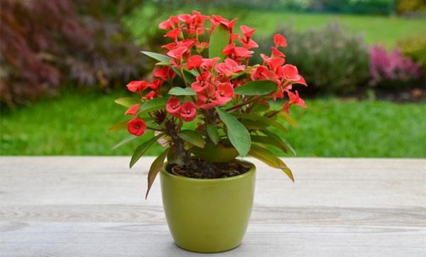 Domáca starostlivosť o kvetinu euphorbia vnútorné, reprodukcie, čo je nebezpečné