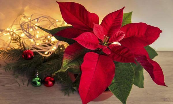 Vianočná hviezda kvetina pre starostlivosť o domácnosť (vianočné hviezdy)