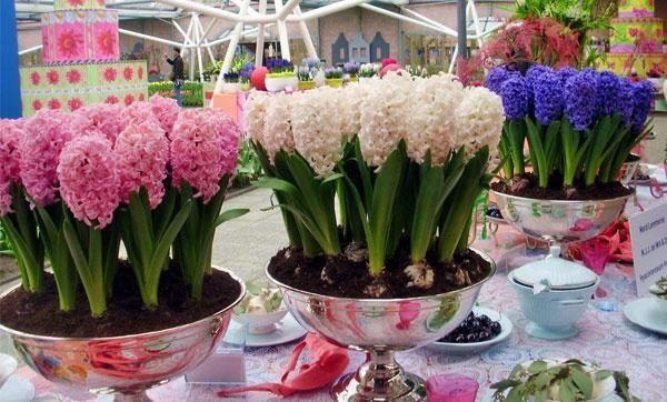 Domáca starostlivosť o hyacint v kvetináči, výsadba a rozmnožovanie
