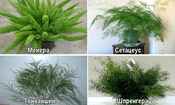 Îngrijirea florilor de sparanghel acasă, transplantul și reproducerea 2