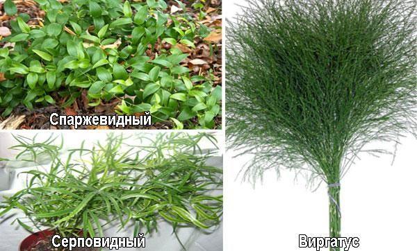 Ingrijirea florilor de sparanghel acasa, transplantul si reproducerea 3