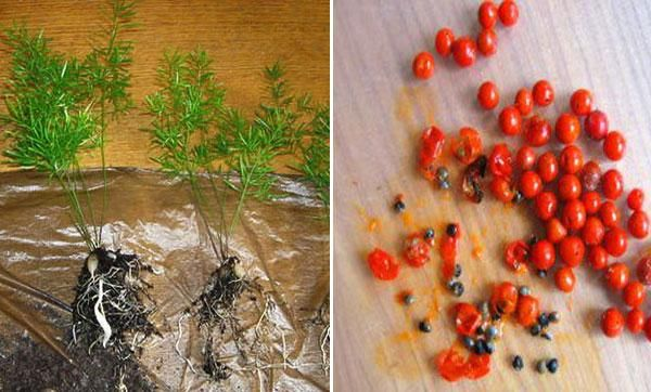 Ingrijirea florilor de sparanghel acasa, transplantul si reproducerea 6