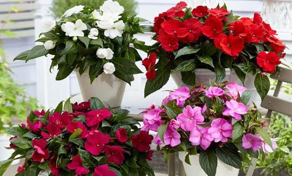 Starostlivosť o balzamínový kvet v interiéri (vanka wet) doma