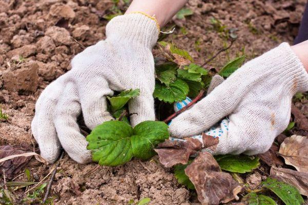 Îngrijirea căpșunilor primăvara: cum să obțineți fructarea maximă 2