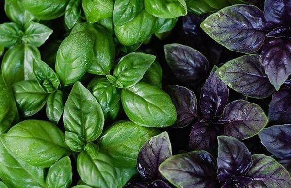 Koja je razlika između zelene i ljubičaste bosiljke, koja je korisnija
