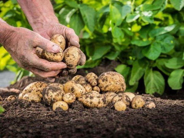 În căutarea celui mai gustos: alege soiul perfect de cartofi