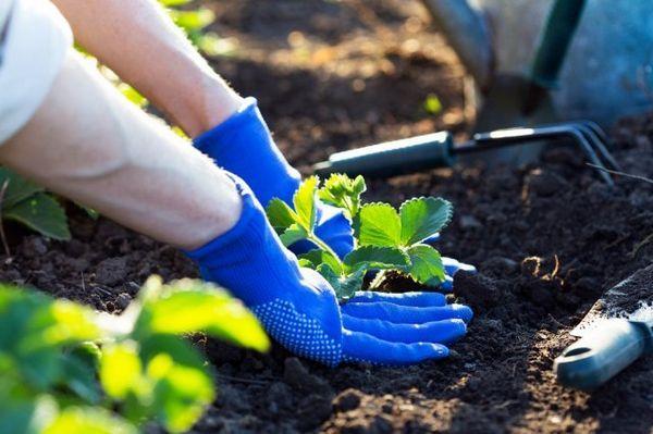 Vaš prvi vrt: kako saditi jagode u otvoreno tlo u proljeće 4