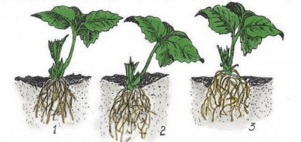 Vaš prvi vrt: kako saditi jagode u otvoreno tlo u proljeće 5