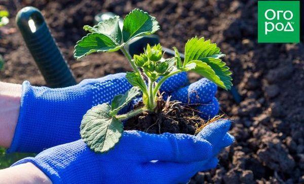 Vaš prvi vrt: kako saditi jagode u proljeće u otvoreni teren 1