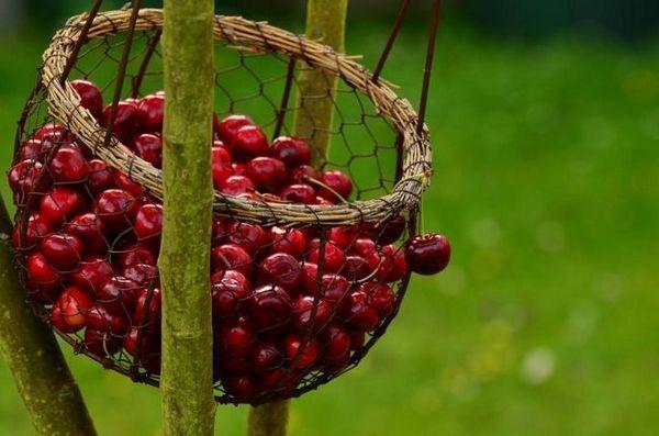 Čerešňa mladých: všetko o výsadbe a starostlivosti o dlhé a plodné ovocie