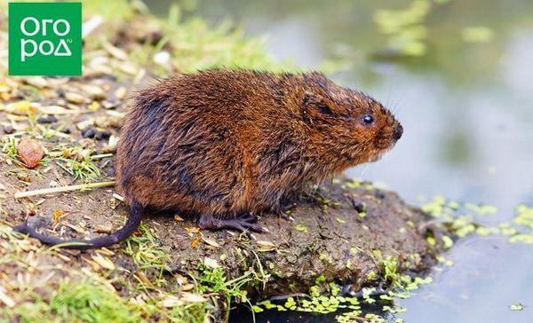 Vodná krysa v záhrade - vítaná alebo bojujúca?