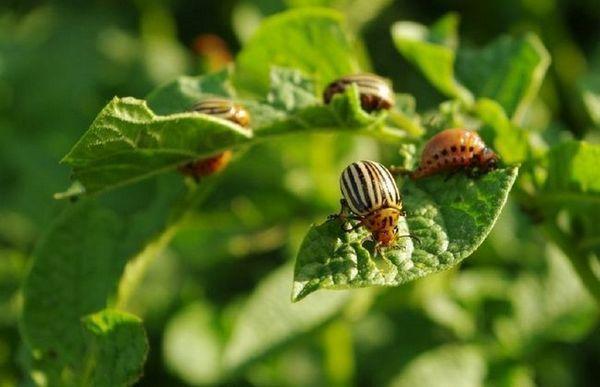 Dormitorul de cartofi nr. 1: cum scapi de un gândac din colorado