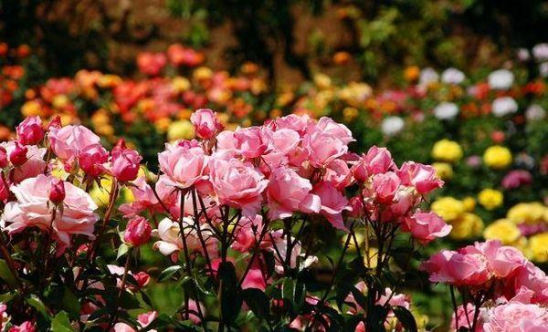 Všetko, čo ste chceli vedieť o pestovaní ruží v parku