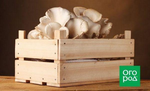 Gljive kamenica uzgajamo kod kuće: sve što ste željeli znati 1