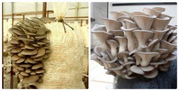 Gljive kamenica uzgajamo kod kuće: sve što ste željeli znati 5