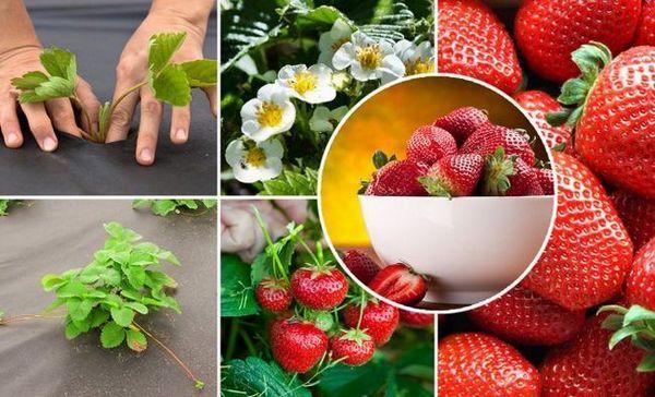 Cultură căpșuni în paturi înalte folosind tehnologia finlandeză