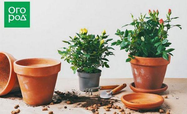 Pestovanie ruží v kontajneroch - všetko o odrodách, výsadbe, starostlivosti a zimovaní