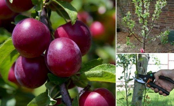 Culturi de prune în grădină - tot despre plantare, udare, fertilizare și prelucrare