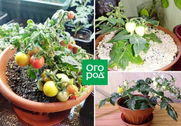 Uzgoj rajčice u stanu zimi - osobno iskustvo sa zaključcima i sortama 3
