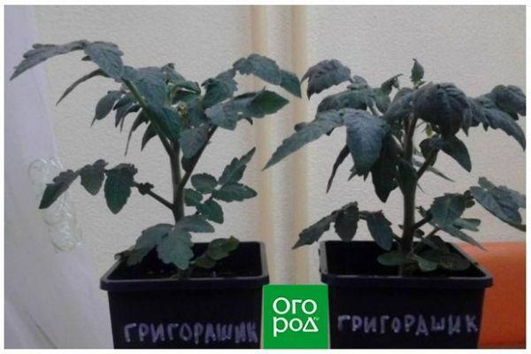 Uzgoj rajčice u stanu zimi - osobno iskustvo sa zaključcima i sortama 4