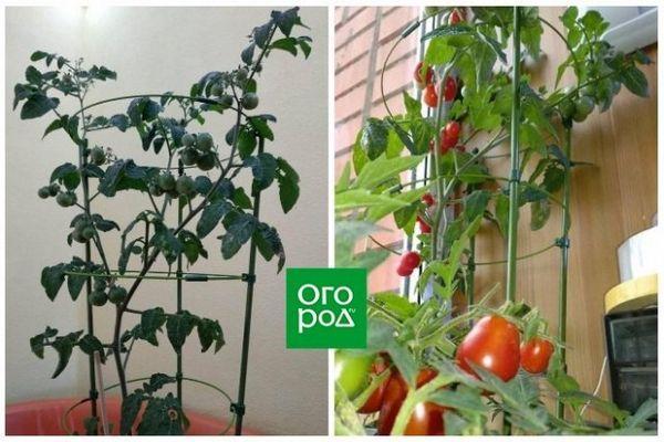 Uzgoj rajčice u stanu zimi - osobno iskustvo sa zaključcima i sortama 5