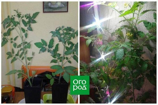 Uzgoj rajčice u stanu zimi - osobno iskustvo sa zaključcima i sortama 6