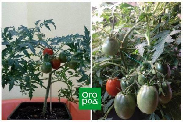 Uzgoj rajčice u stanu zimi - osobno iskustvo sa zaključcima i sortama 7