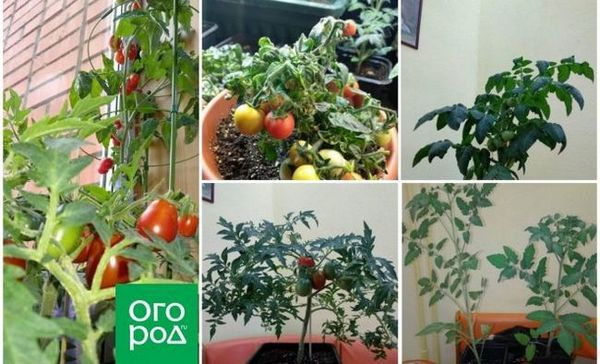 Pestovanie paradajok v byte v zime - osobná skúsenosť so závermi a odrodami