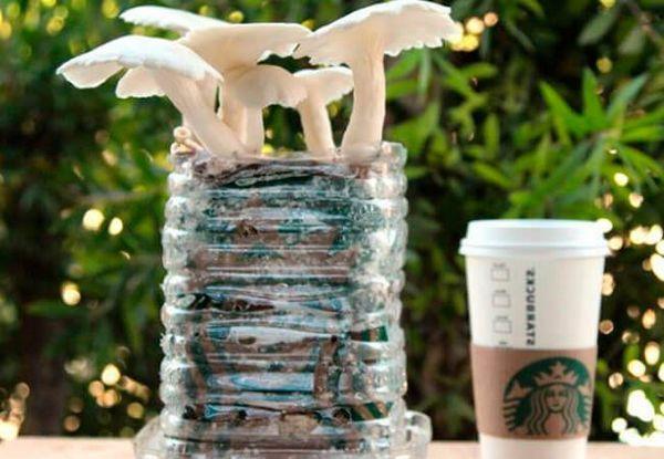 Uzgoj gljiva od kamenica na osnovi kave i kartona
