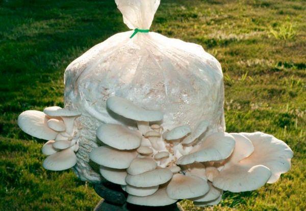 Uzgoj gljiva od kamenica na slami