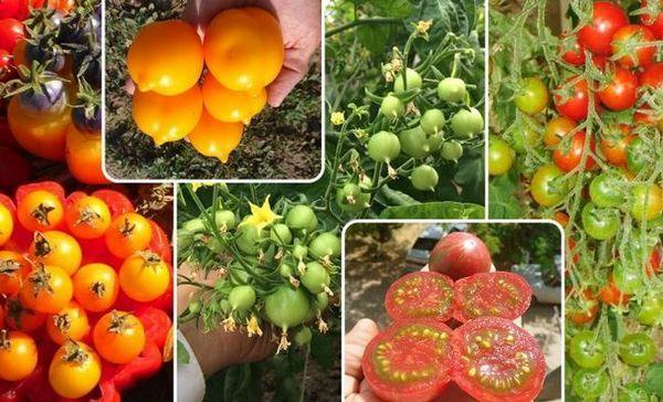Výška paradajok: nevyberáme, ale prispôsobujeme sa