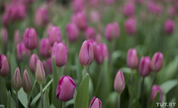 Starajte sa o tulipány - a nesťažujte sa, že nie je práca. Rodina pestovala v skleníku 40 000 kvetov