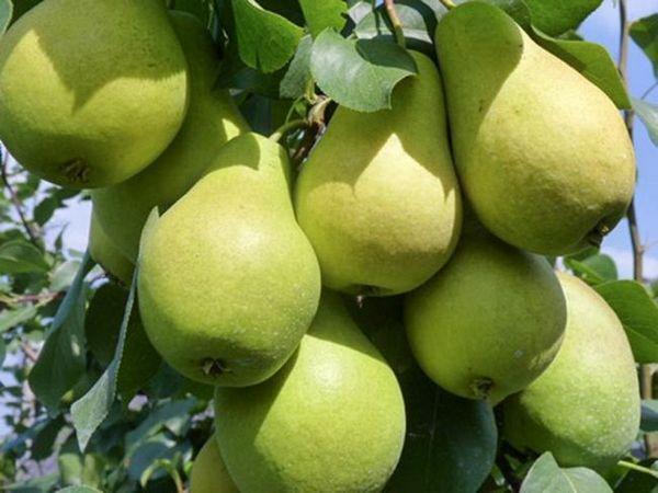 Zelená, ale veľmi chutná hrušková srsť z augusta: vlastnosti starostlivosti